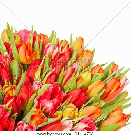 colorful bouquet of fresh spring tulip flowers with water drops on white background