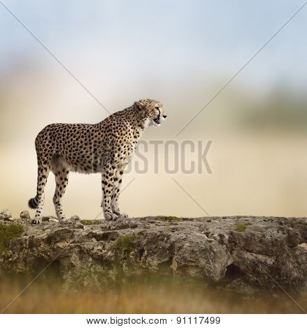 Cheetah (Acinonyx jubatus) Stands  On Top of a Rock