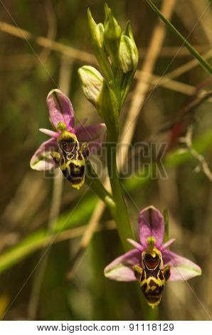 Wild Woodcock Orchid Flowers - Ophrys Picta