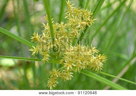Cyperus flower