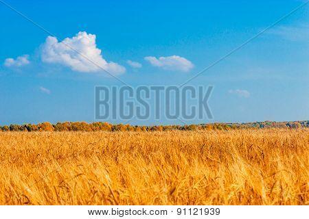 rye field
