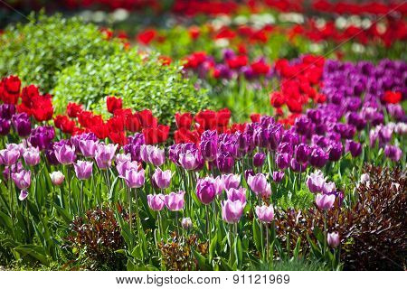 Colorful Spring Tulips In A Garden