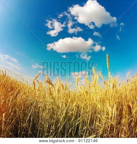 gold wheat under blue sky