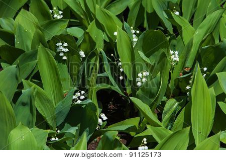 Lily Of The Valley After The Rain