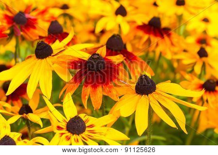 Vivid colored rudbeckia or black eyed susans, in the late summer garden.