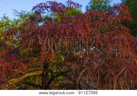 Sunny Japanese maple after rain in spring