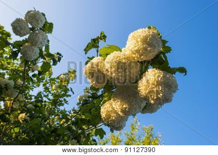 Blossoms of a snowball tree in sunlight in spring