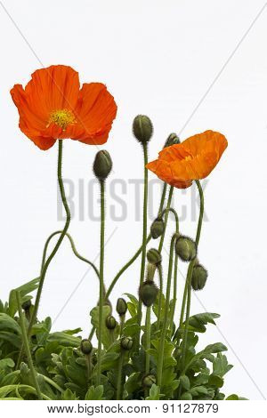 Spring Poppies