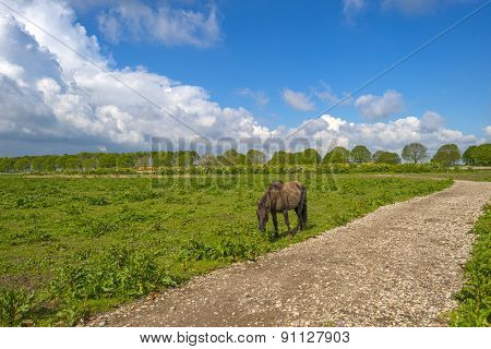 Konik horse walking along a footpath