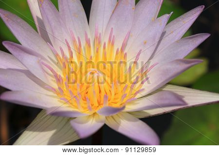 Closeup Beautiful White Water Lily Pollen