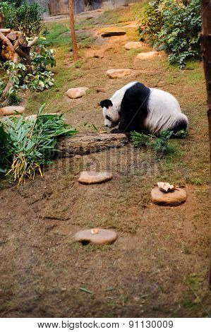 Panda bear in the zoo of Ocean Park in Hong Kong