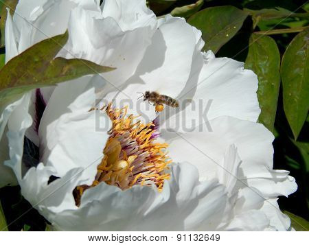 Bee and white peony