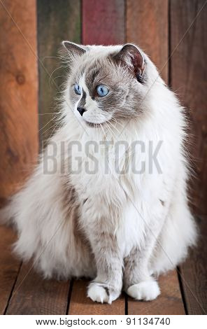 Ragdoll cat breed on a wooden background