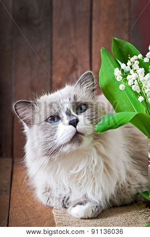 Ragdoll cat breed and a vase of lilies of the valley on a wooden background