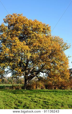 Autumn oak with yellow leaves on a blue sky background
