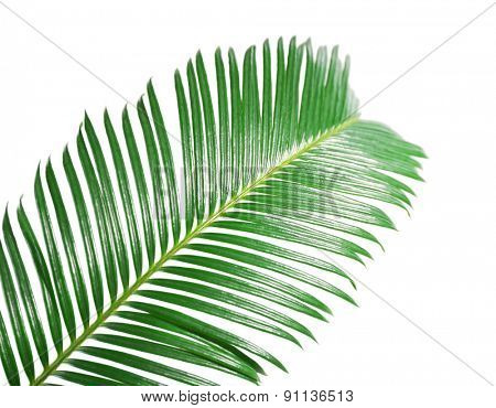 Green leaf of sago palm tree isolated on white