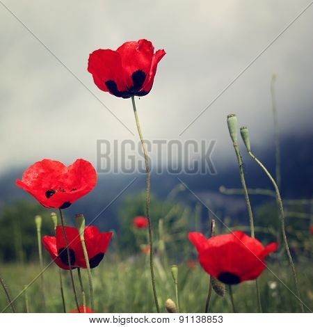 Red Poppies Grow - Toned Effect.