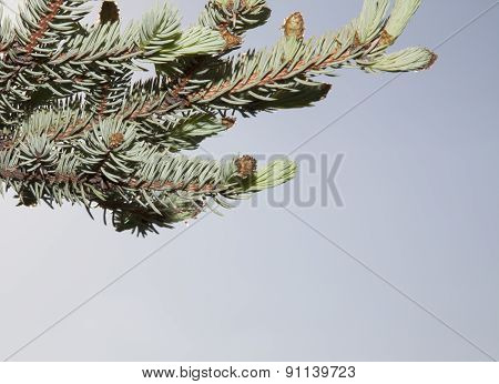 Spider On The Young Shoots Of Blue Spruce