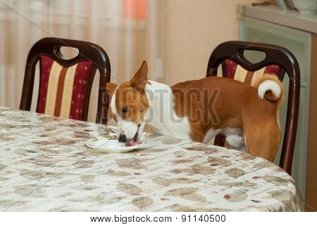 Smart basenji prepares dirty plate for dishwashing machine