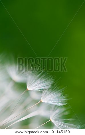Green Blurred Background With Dandelion Seeds