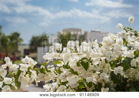 Bunch Of Tropical Paper Flowers Or Bougainvillea Flower At End Of Branch