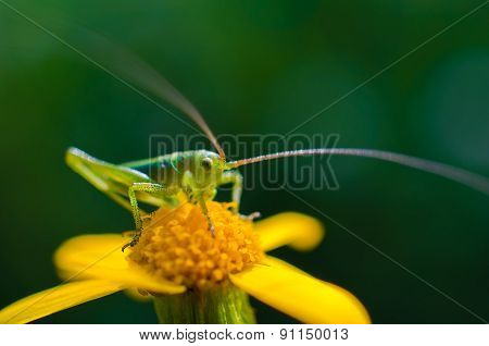 Young Grasshopper Sitting On The Yellow Flower
