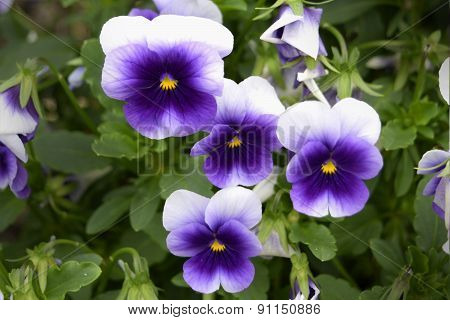 Small purple blooming viola