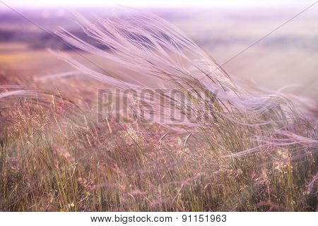 Silky grass - Fluffy grass - softness high grass,