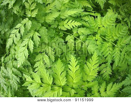 Thickets Of Pinnate Leaves