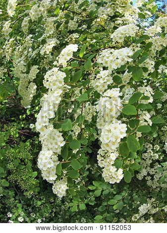 Clusters Of White Flowers On A Bush Close-up
