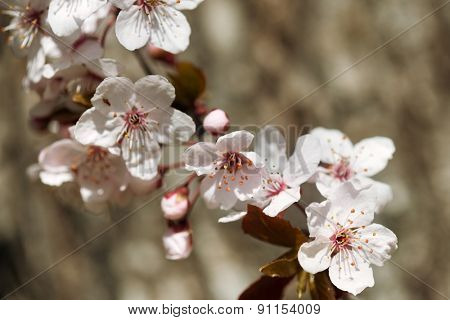 pink cherry flower, blossom at spring