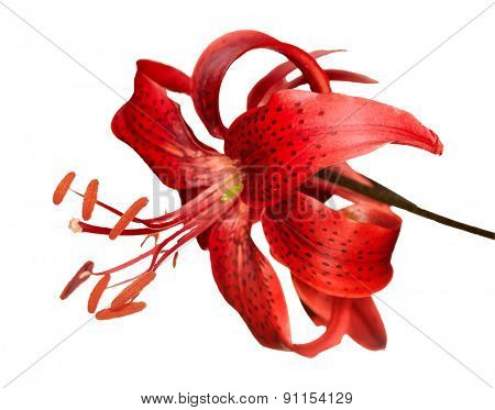 red tiger lily, vector