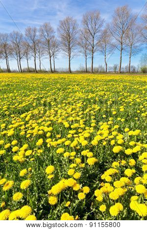 Field of yellow dandelions with trees in spring