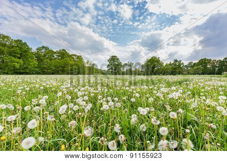 Overblown dandelions in meadow with cloudy sky