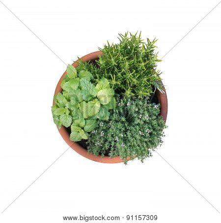 Young Lemon Balm, Rosemary And Thyme