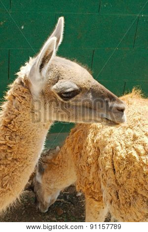small lama