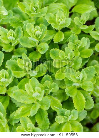 Young Spring Leaves On Green Background