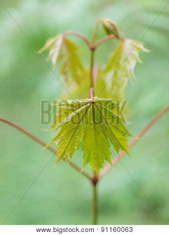 Young Spring Maple Tree Leaves On Green Background