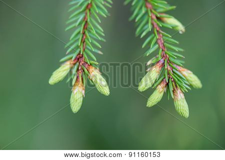 Young Spring Spruce Tree Blossoms On Green Background