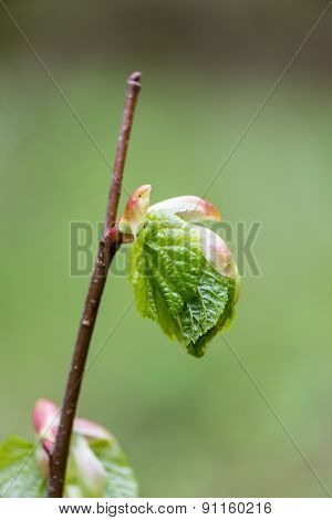 Young Tree Blossoms On Green Background