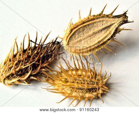 Orlaya Seeds