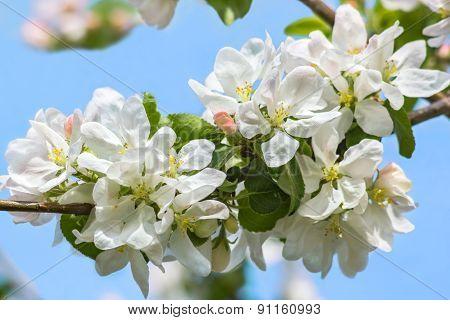 Flowers Of Apple-tree On Blue Sky Background