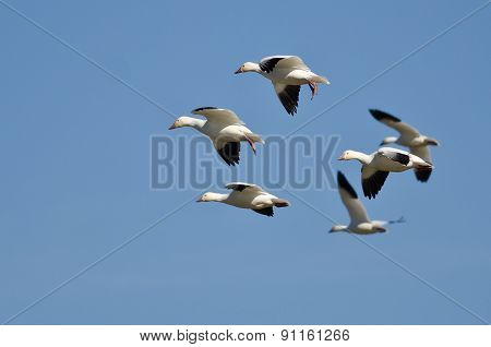 Six Snow Geese Flying In A Blue Sky
