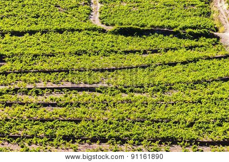 vineyard on Cote Vermeille near Port-Vendres, Languedoc-Roussillon, France