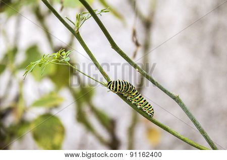 Papilio Machaon Butterfly larvae Eating Ruta Chalepensis Plant.