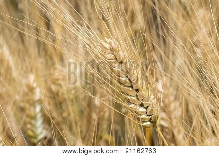 Harvest Of Ripe Wheat, Golden Spike