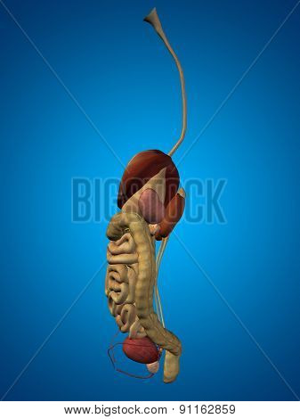 High resolution concept or conceptual anatomical human or man 3D digestive system on blue background