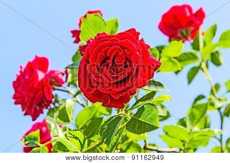 Red Roses On A Background Of Blue Sky
