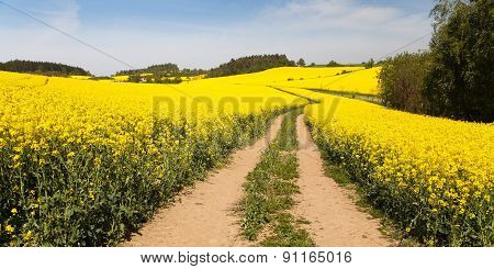 Field Of Rapeseed (brassica Napus)