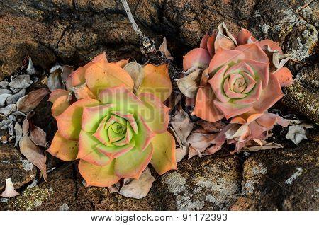 Beautiful Light Orange Succulent Flower